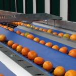 fruit-grading-sorting